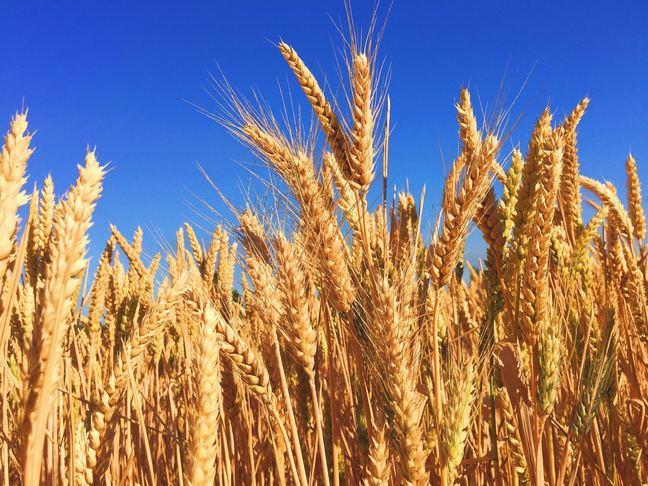 Ripe wheat head in a field