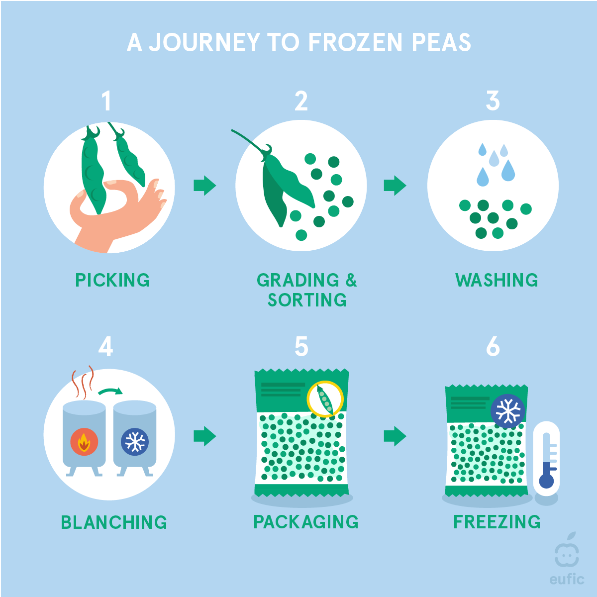 the process for packaging frozen peas consisting of 6 illustrated steps: picking (hand picking pea pod), grading and sorting (pod opening to release peas), washing (peas with water droplets), blanching (two industrial heating chambers, one with a fire on and an arrow indicating transfer to another with a snowflake on), packaging (bag of peas), freezing (bag of peas with snowflake symbol and a blue thermometer