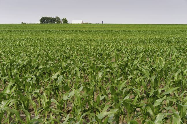 A photograph of a field of maize