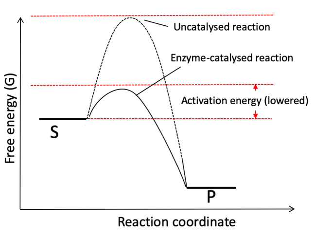 Free energy of catalysed reaction: This graph compares the free energy landscape of uncatalysed and catalysed reactions. The graph changes to show that under catalysis, energy requirement is reduced i.e. the activation energy os reduced. It also highlights that the peak of the graph to be the transition state and is reduced under catalysed conditions
