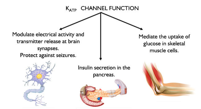 K<sub>ATP</sub> Channel Function. Neuron: modulate electrical activity and transmitter release at brain synapses. Pancreas: protect against seizures. Insulin secretion in the pancreas. Muscle: mediate the uptake of glucose in skeletal muscle cells.