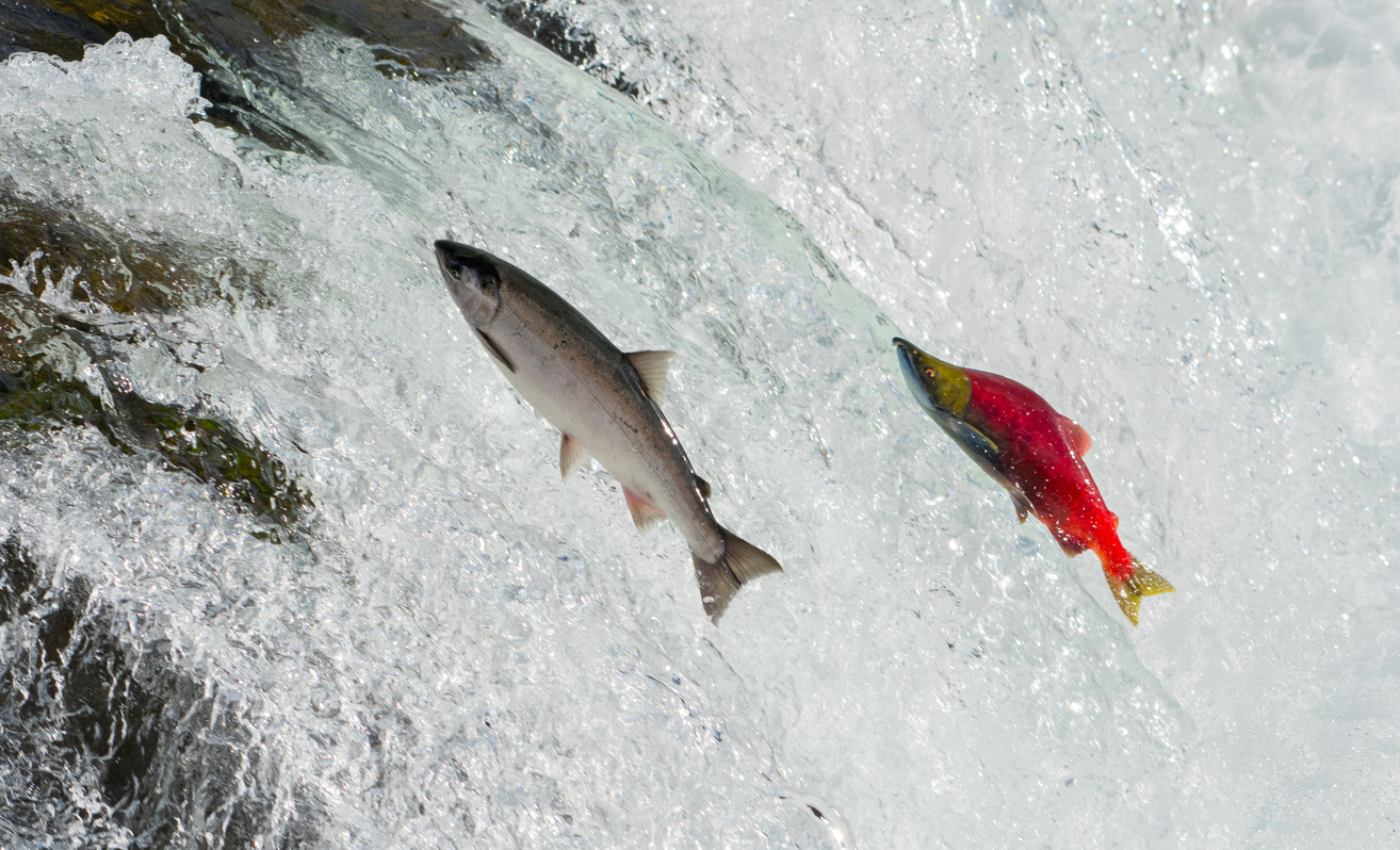 Two Salmon jumping upstream in a river rapid. The female is silver and the male is a striking red colour.