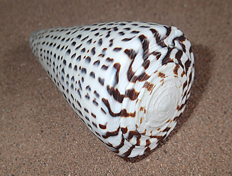 A leopard cone shell which is white with brown speckles.