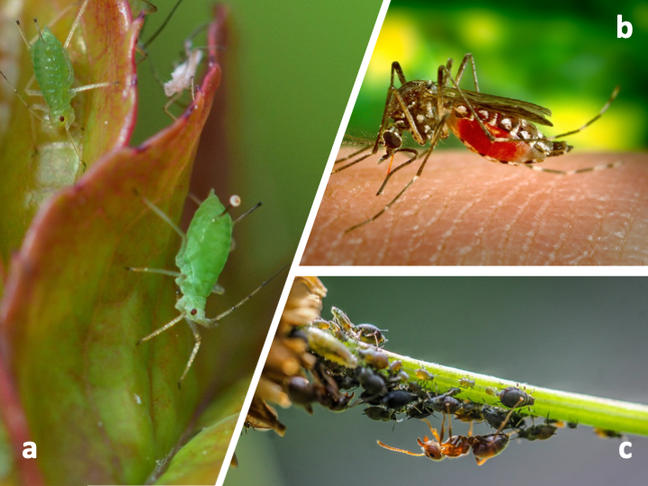 Pictures of insect symbioses: green aphid on a leaf, a mosquito feeding on a human finger and ants and blackflies on a flower stalk.