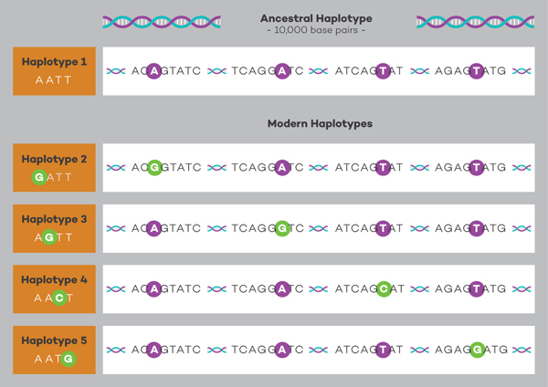 Genetic diagram showing ancestral and modern haplotypes