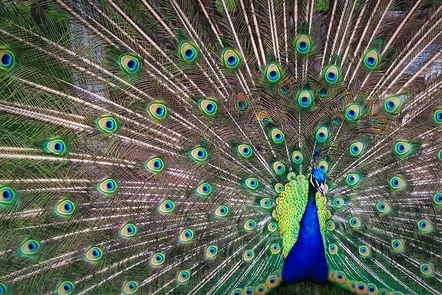 Peacock expanding his tail