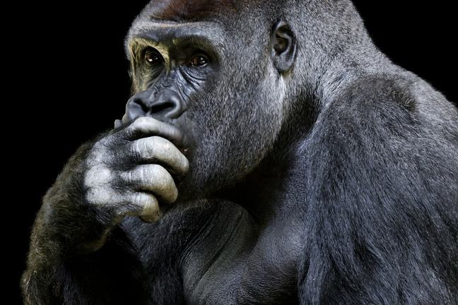 A thinking gorrilla
