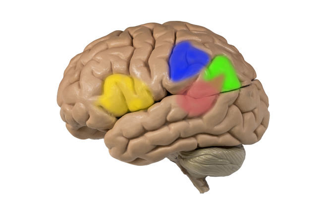 The left hemisphere marked
