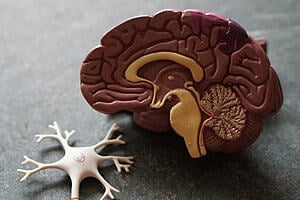 model of a brain split in half