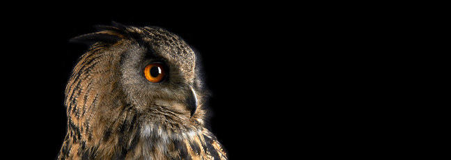 A photograph of an owl in profile
