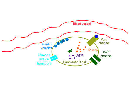 A schematic of the insulin related components in a cell