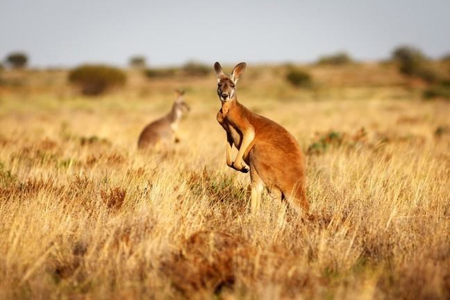 Two kangaroos in a grassy field, one looking at the camera