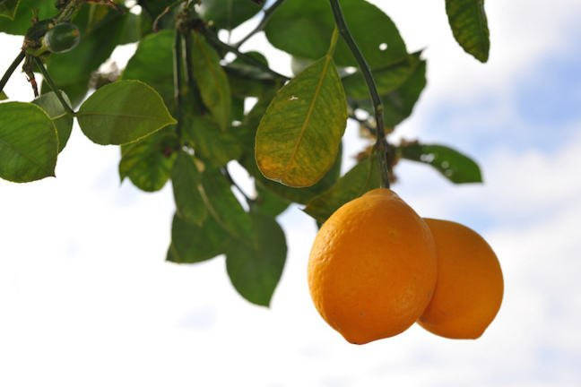 Two lemons on the branch of a tree