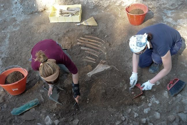Excavating a cow skeleton