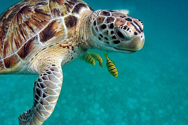 A green turtle swimming in the ocean