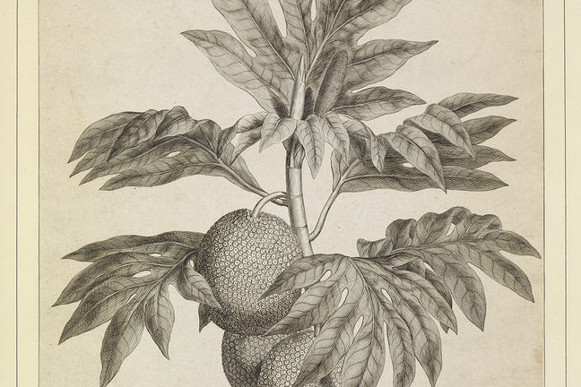 An engraving of a branch of the bread fruit tree with large round fruit and leaves