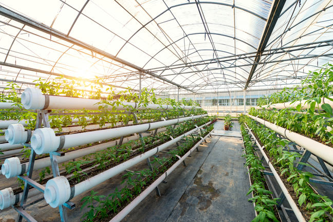 A large greenhouse containing long rows of vegetables grown in troughs.
