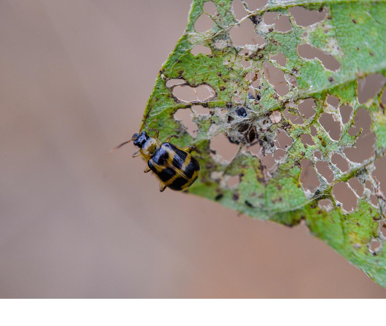(BIO639.3) Outbreak! Eradicating pests and diseases