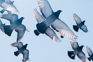 A flock of pigeons passing overhead