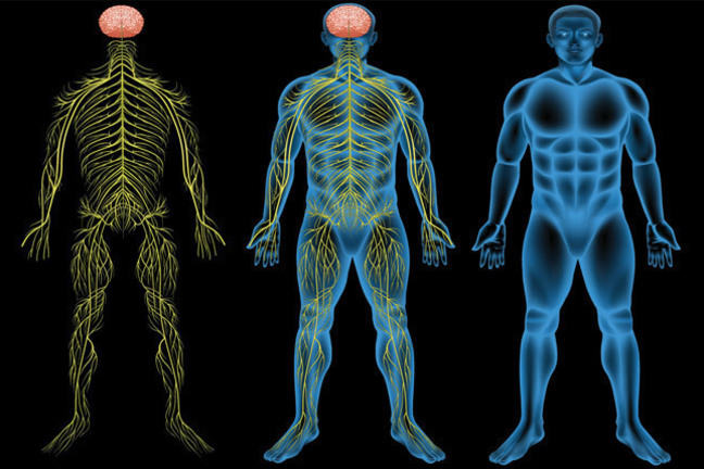 Illustration of the human nervous system (with male subject)