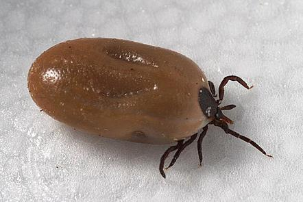 This image depicts a lateral view of a female blacklegged, deer tick, Ixodes scapularis. Her body is swollen/engorged with the blood of her host. She has black legs and mouthparts, and her abdomen is a greyish colour.
