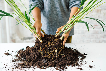 Gardener dividing a house plant by splitting the roots