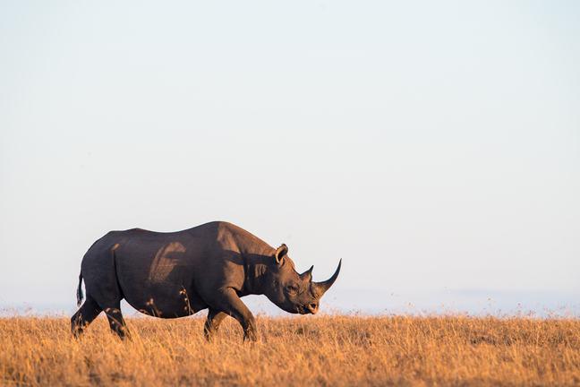 White rhino grazing on laikipia savanna.