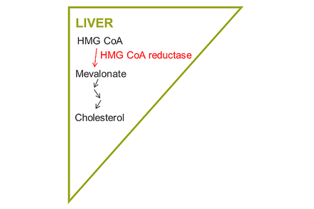 A diagram showing the pharmacology pathway to cholesterol