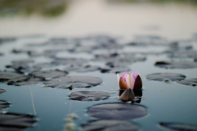Image of an opening water lily in a pond