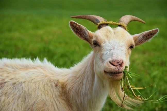 A goat chewing on grass