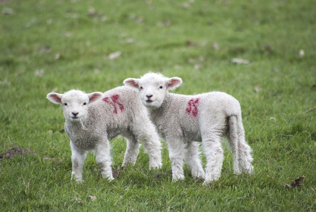 Two lambs in a field looking at the camera