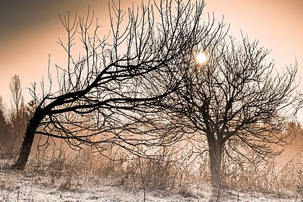 Two trees on a frosty morning, one is bent over