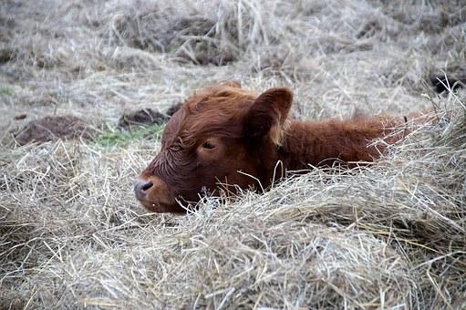 Bull calf resting on straw