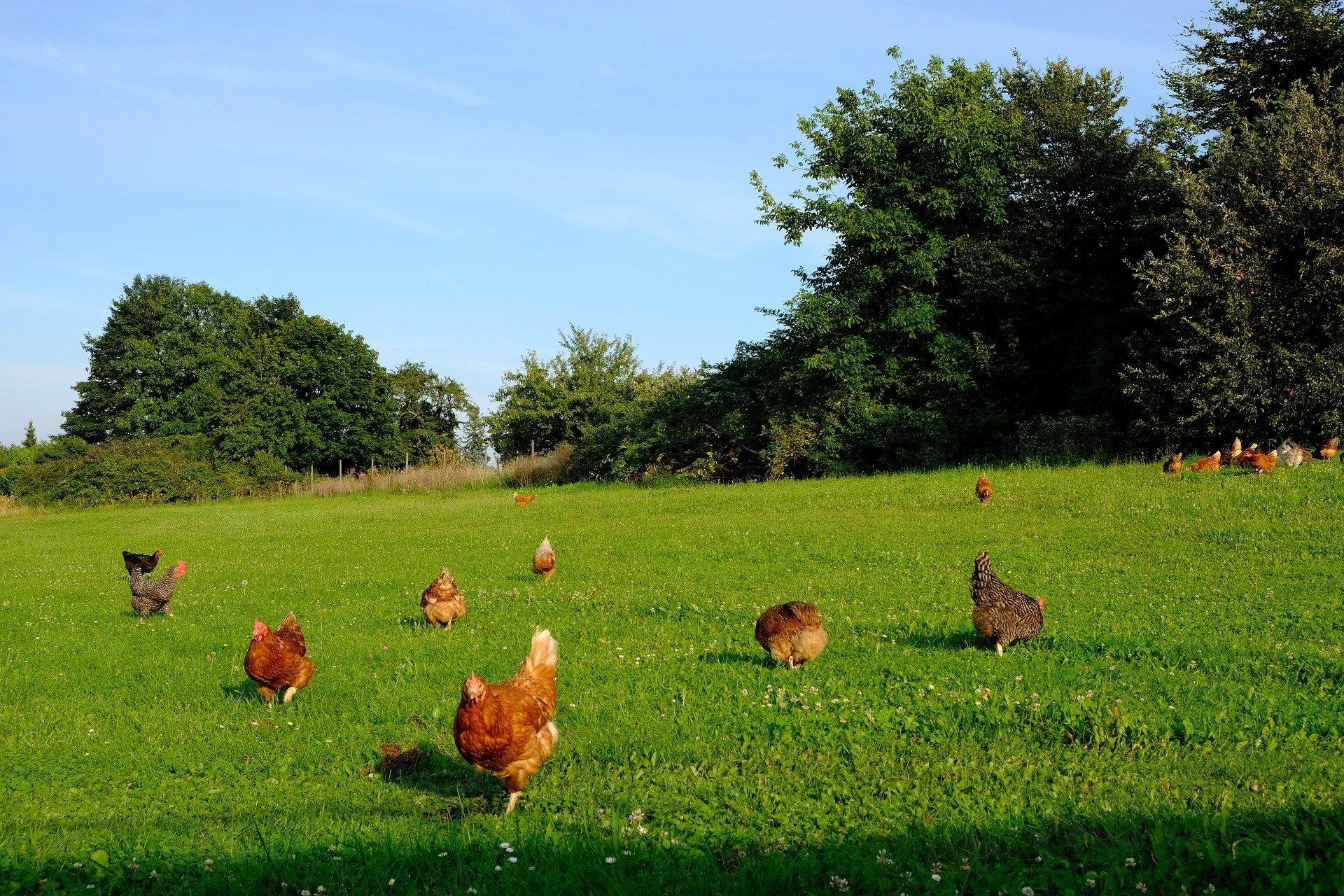 About twelve brown chickens wandering across a sloping field