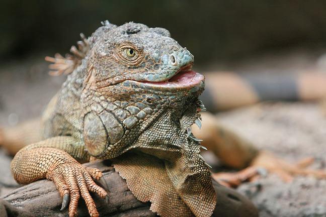 Reptile - iguana.
