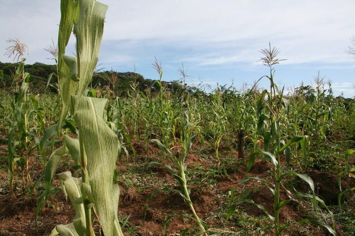 Maize monoculture
