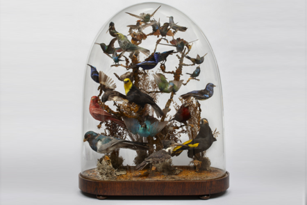 Taxidermy display of South American Birds mounted on a branch within a glass dome