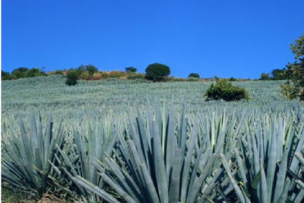 Agave Landscape and Ancient Industrial Facilities of Tequila (Mexico) Source.
