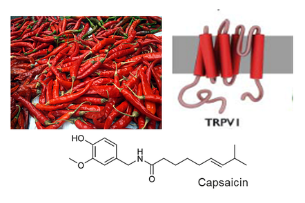 A photo of chilli peppers and the molecular structure of capsaicin