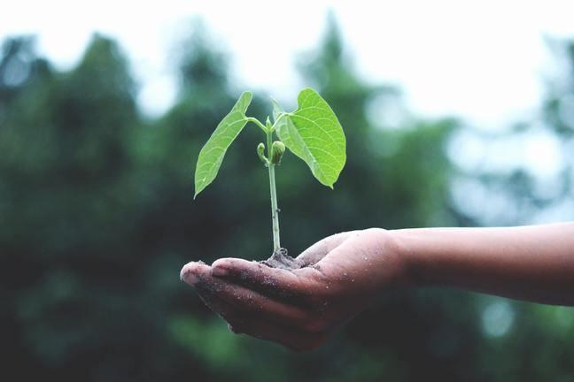 Hand holding small legume seedling