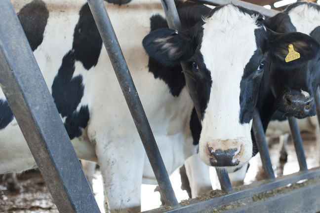 Cow poking it's head through some bars within a farm.