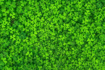 A close-up photograph of a mass of green three-leaved clovers or shamrocks