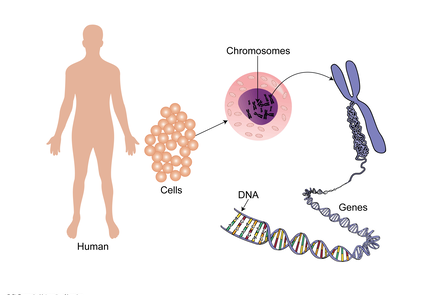 Illustration showing human to body cells to individual cell with nucleus, to chromosome, to genes and finally DNA