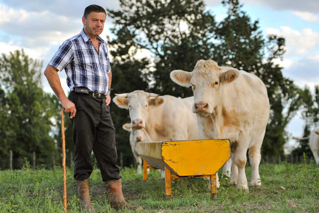 Farmer with white cows beside a yellow trough in a field