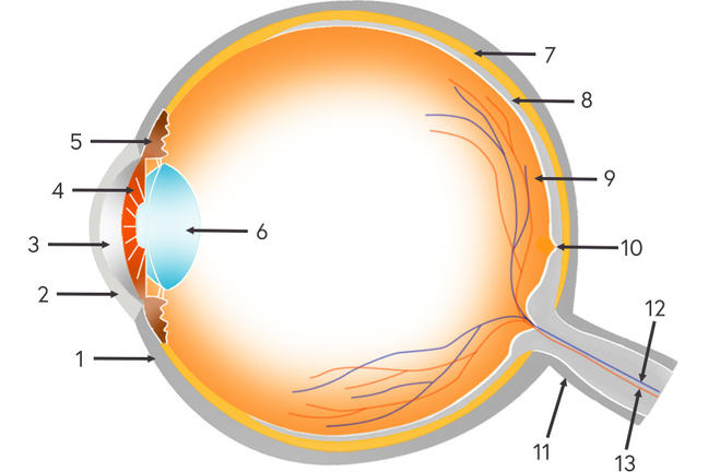 Diagram of the eye showing where all the parts are located