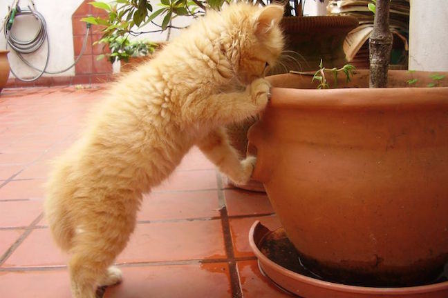 A ginger kitten standing on hind legs to look curiously into a ceramic planter