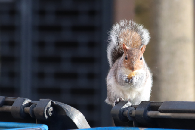 Grey squirrel on a bin
