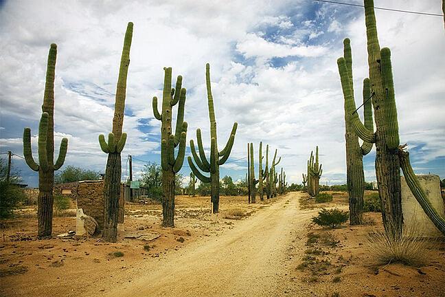 Cacti avenue on a desert road