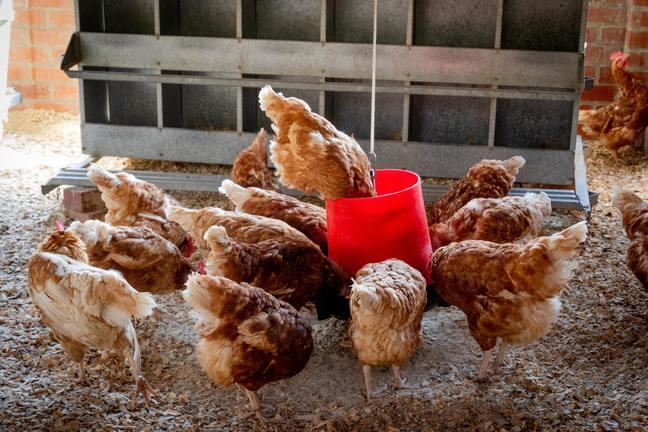 Chickens eating animal feed