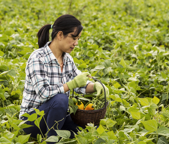 A woman picking peppers in a lush green field.